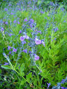 Salvia × coahuilensis.jpg