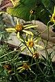 Salvia nemorosa Mainacht 3zz.jpg