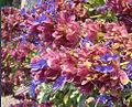 Salvia pachyphylla, the Rose Sage (10461533306).jpg