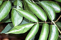 Sambucus nigra ssp canadensis NRCS-003.jpg