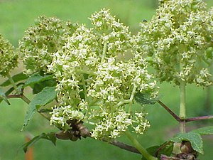 Adoxaceae