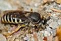 Sand Wasp (Bembix tarsata) digging a hole ... (35619712321).jpg