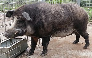 Iron Age pig - Iron Age pigs look like this male.
