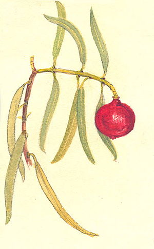 Santalum acuminatum - Detail of sketch by Olive Pink (1930)