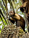 Sapajus apella apella (French Guyana) 4.jpg
