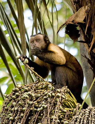 Tufted capuchin - Brown tufted capuchin in French Guiana