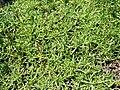 Saponaria caespitosa (BG Wroclaw)-1.JPG
