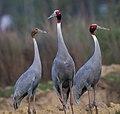 Saras crane by Sanjay Tha Shrestha.jpg