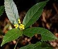 Sarcandra glabra f. flava.jpg