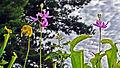 Sarracenia & Calopogon (9702008389).jpg
