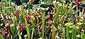 Sarracenia galore (4824414111).jpg