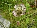 Sarracenia leucophylla.jpg