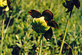 Sarracenia purpurea purpurea, Pancake Bay PP.jpg