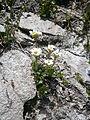 Saxifraga androsacea 002.JPG