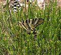 Scarce Swallowtail. Iphiclides podalirius feisthameli. - Flickr - gailhampshire.jpg