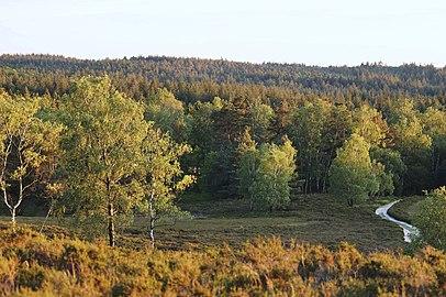 Schöne Aussicht vom Brunsberg über die Wälder mit Wanderweg und Heidekrautgewächsen und 3 Birken im Vordergrund.jpg