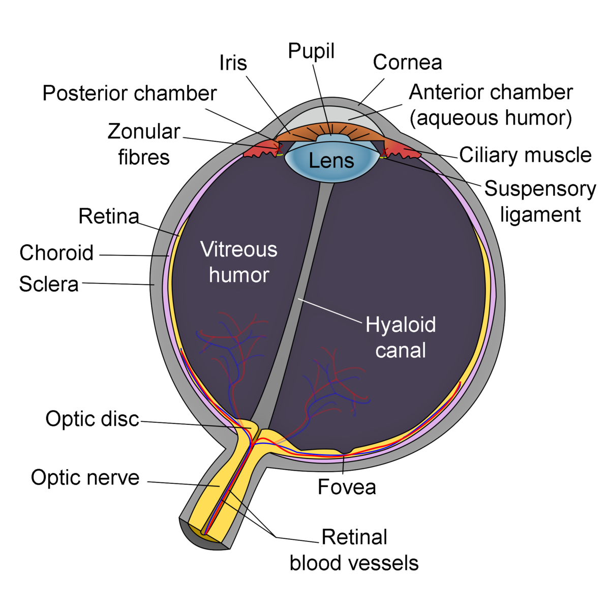 Lens Anatomy Wikipedia