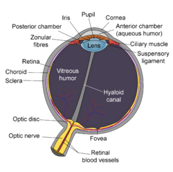 Lens anatomy wikipedia schematic diagram of the human eye en editg ccuart Image collections
