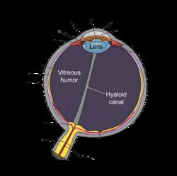 Lens anatomy simple english wikipedia the free encyclopedia schematic diagram of the human eye en editg ccuart Gallery