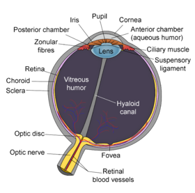 Schematic diagram of the human eye en-edit.png