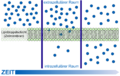 Scheme simple diffusion in cell membrane-de.png
