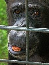 Schimpanse mit Stein Zoo Landau.JPG
