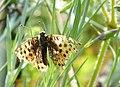 SchmetterlingStyria.JPG