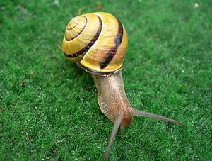 Balancing selection - Grove snail, dark yellow shell with single band.