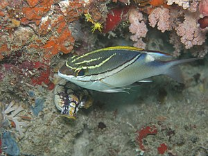 Two-lined monocle bream - Image: Scolopsis bilineata