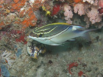Scolopsis - Two-lined monocle bream, (S. bilineata)