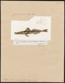 Scorpaena nesogallica - 1700-1880 - Print - Iconographia Zoologica - Special Collections University of Amsterdam - UBA01 IZ13300029.tif