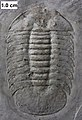 Scutelluid trilobite.jpg