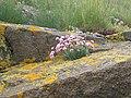 Sea Pink, Cramond Island - geograph.org.uk - 108129.jpg