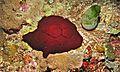 Sea Slug (Pleurobranchus grandis) (6053352050).jpg