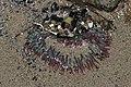 Sea anemone (43179755051).jpg