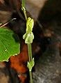 Sebaea sp. (Gentianaceae) ? (6932190133).jpg