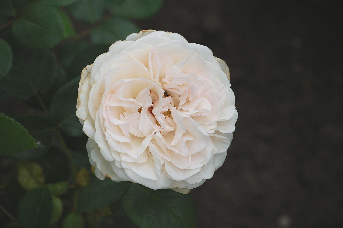 Außergewöhnlich Sebastian Kneipp (Rose) – Wikipedia @VN_86