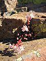 Sedum anglicum ssp pyrenaicum.jpg