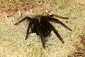 Segestria florentina 4 (FG) (32967375825).jpg