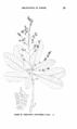 Semecarpus cuneiformis-Forestry in the Philippine Islands-99.png