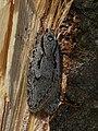 Semioscopis avellanella - Весенняя моль пухокрылая (26749821417).jpg