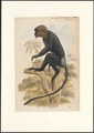 Semnopithecus johnii - 1749-1842 - Print - Iconographia Zoologica - Special Collections University of Amsterdam - UBA01 IZA1000865.tif