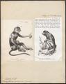 Semnopithecus nasicus - 1700-1880 - Print - Iconographia Zoologica - Special Collections University of Amsterdam - UBA01 IZ19900060.tif