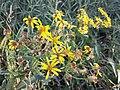 Senecio sarracenicus sl11.jpg