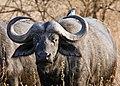 Serengeti Bueffel1.jpg