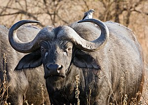 The horns of males are almost grown together. ...