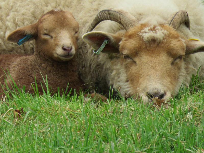 File:Sheep and lamb.jpg