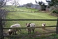Sheep at Potter Hill Farm - geograph.org.uk - 142756.jpg
