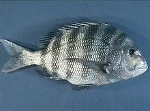 Porgy Fish