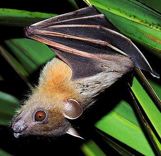Greater short-nosed fruit bat - Hanging Over Foliage Palm In (Mangaon, Maharashtra, India)